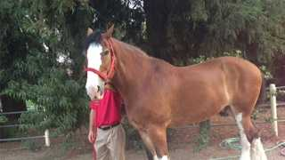 clydesdales, horses, fairfield, large vet clinic, uc davis, anheuser-busch brewery Tour, leticia ordaz