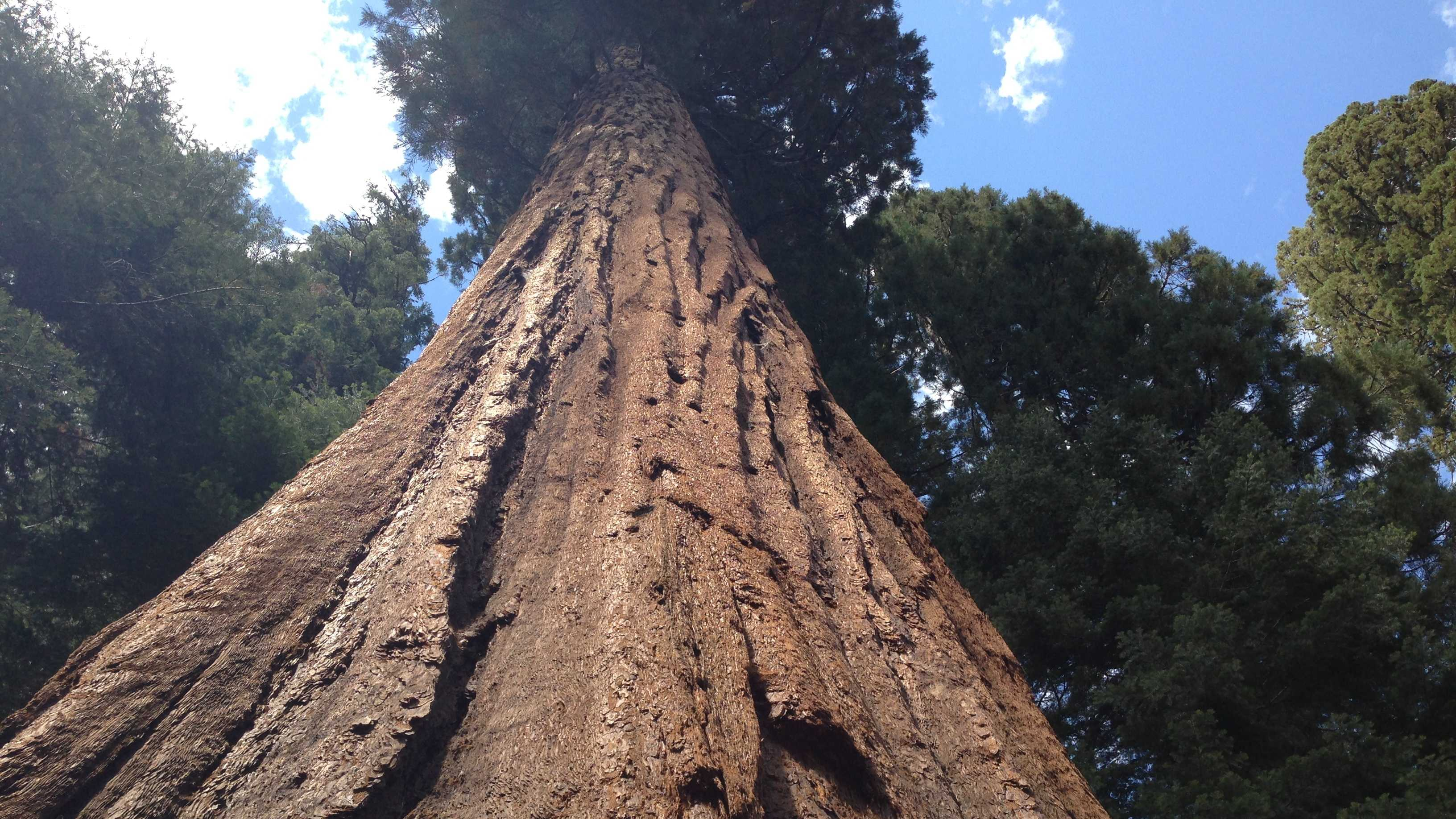 Giant sequoias have thick park, which contains a fire-resistant chemical, but are not immune to large, hot wildfires.