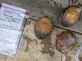 State authorities issued 14 warrants and arrested one person in Sacramento in an ongoing investigation into the poaching of Northern California coastal abalone.