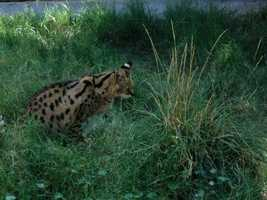 African serval cats mostly eat rodents, such as grass mice and rats. Source: San Diego Zoo