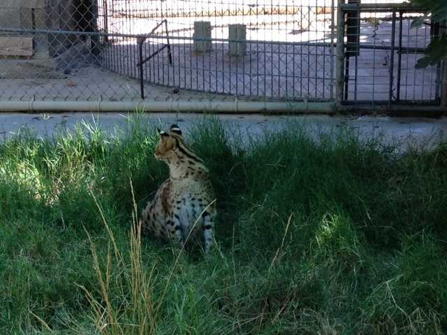 African servals are nocturnal and mostly hunt at night, according to the San Diego Zoo. Portia, the African serval that was the beloved pet of a Roseville woman, lived in the wilderness for seven weeks before it was struck by a car and died. (Pictured: African serval cat at PAWS)