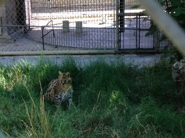 This African serval cat named Paka lives in an outdoor metal enclosure at the Performing Animal Welfare Society in Galt.