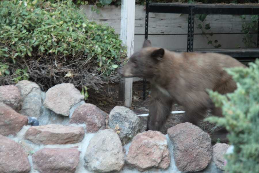 Roseville police said a bear was spotted roaming the streets in several neighborhoods on Sunday. Some residents took photos of the bear as it made its way peacefully through the area.