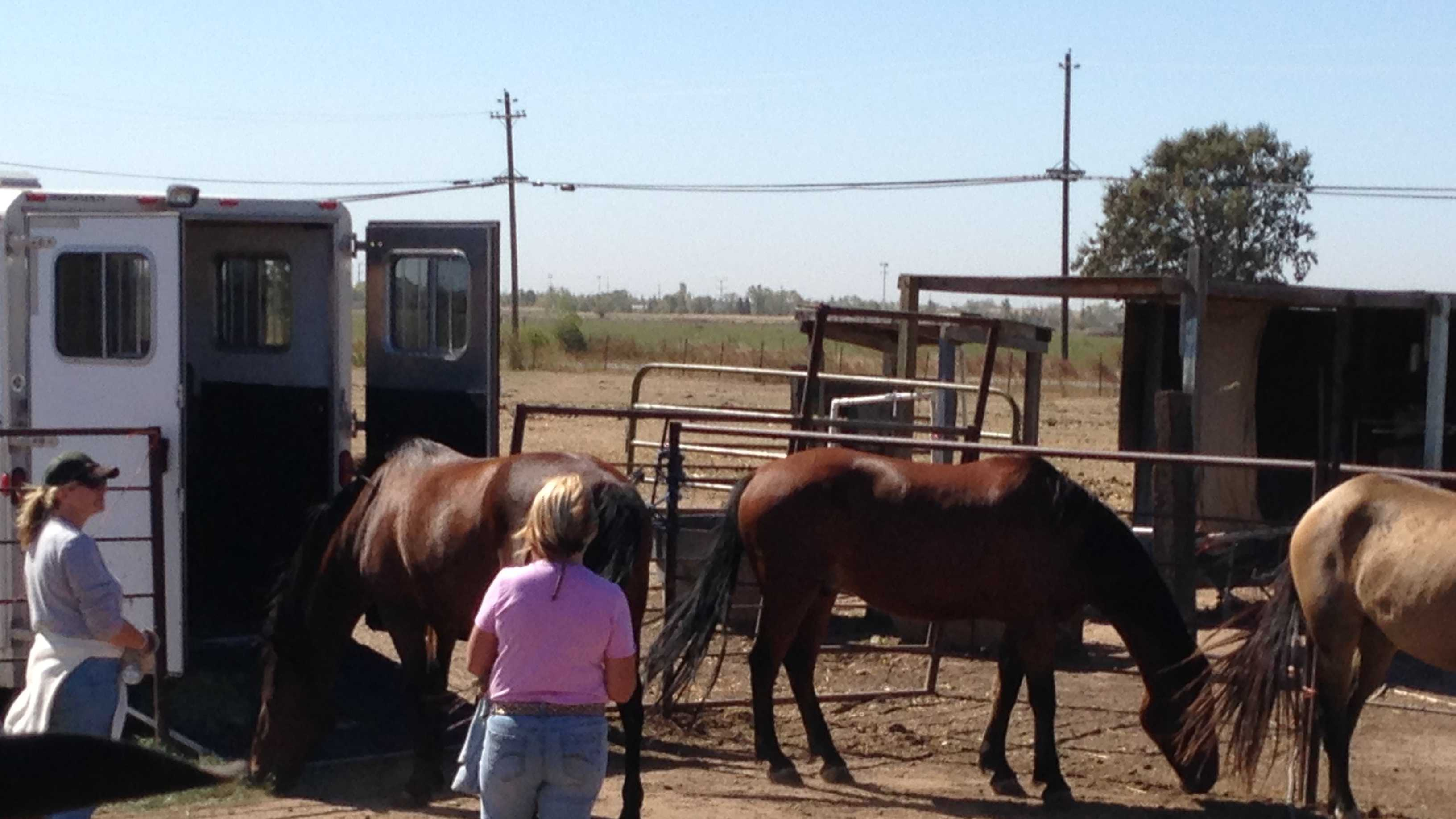 Members of the Humane Society of the Sierra Foothills rounded up horses that they say were neglected and underfed at a ranch in Lincoln.