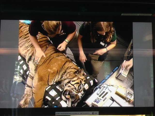 A Sumatran tiger named Castro is being treated for urinary tract stones at the Sacramento Zoo.