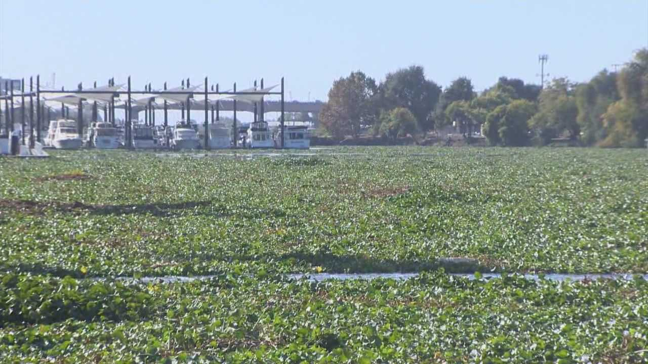 img-Boaters call water hyacinth plant out of control in Stockton