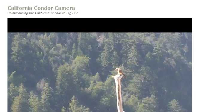 A screen grab of the Condor Cam in Big Sur on the Ventananews.org website.
