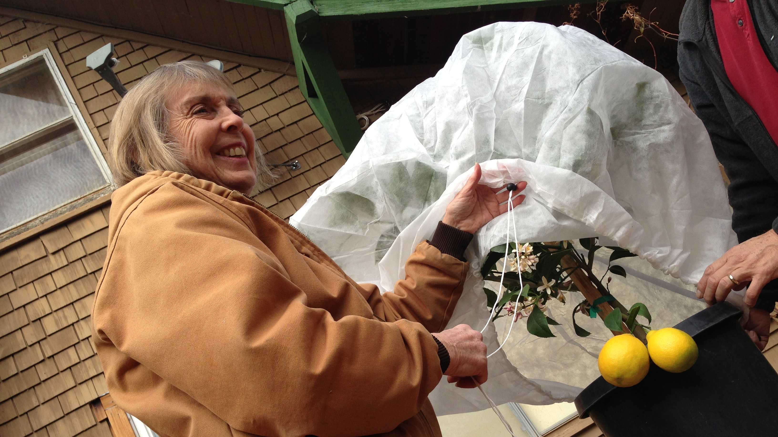 Mary Helen Seeger wraps a potted lemon tree in preparation for an expected cold snap.