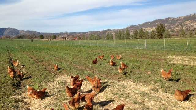Free-range chickens (Feb. 4, 2014)