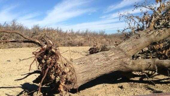 Some almond farmers are eliminating trees they fear they won't be able to water.