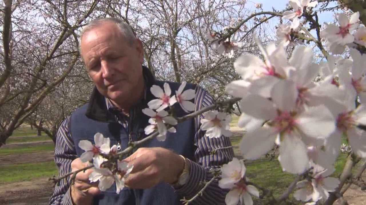The drought is having an effect on the multi-billion California almond industry.