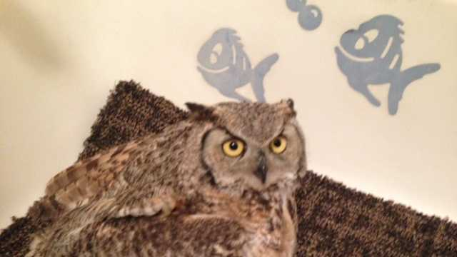 Injured Great Horned Owl at the Lake Tahoe Wildlife Care center.