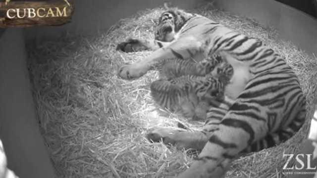 Tiger cubs London Zoo