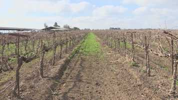 Vineyards in Central California are potentially at risk because of the California drought.