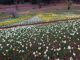 Daffodil Hill is situated in a beautiful mountain setting at the 3,000-foot elevation in Amador County.