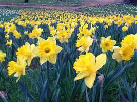 Daffodil Hill opened its gates for its 74th season on Saturday, March 15th.