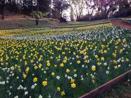 Each winter, the owners and their relatives spend days preparing the grounds for the annual bloom.