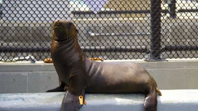 Hoppie the sea pup was found hopping through a San Joaquin County almond orchard.