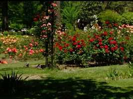 11. Enjoy the smell of roses -- More than 1,200 rose bushes span 1.5 acres at the McKinley Park Rose Garden in East Sacramento, making it a popular spot for weddings and memorial services.