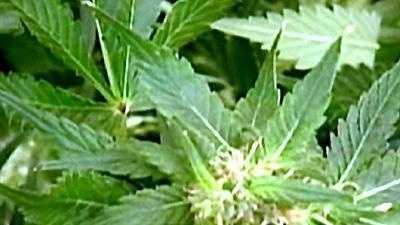 marijuana generic.jpg