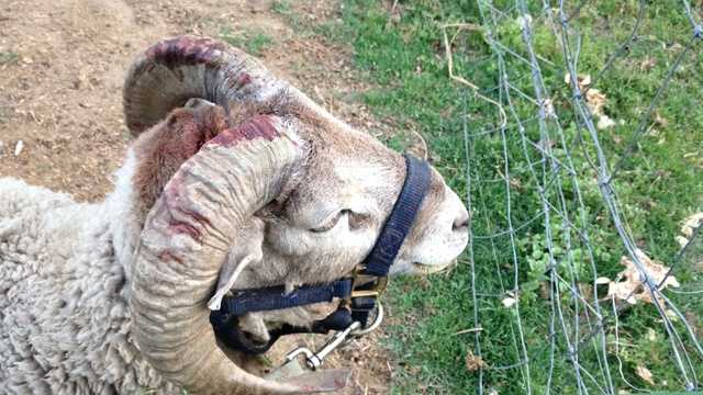 A woman in the Shasta County community of Palo Cedro said a ram her brother kept attacked their mother.
