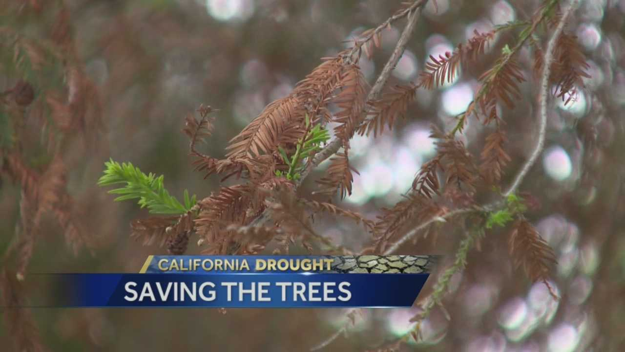 Dozens of trees in Land Park are turning brown due to the drought across California.