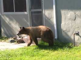 California wildlife officials captured a loose bear that was running the streets of Colusa early Monday morning.