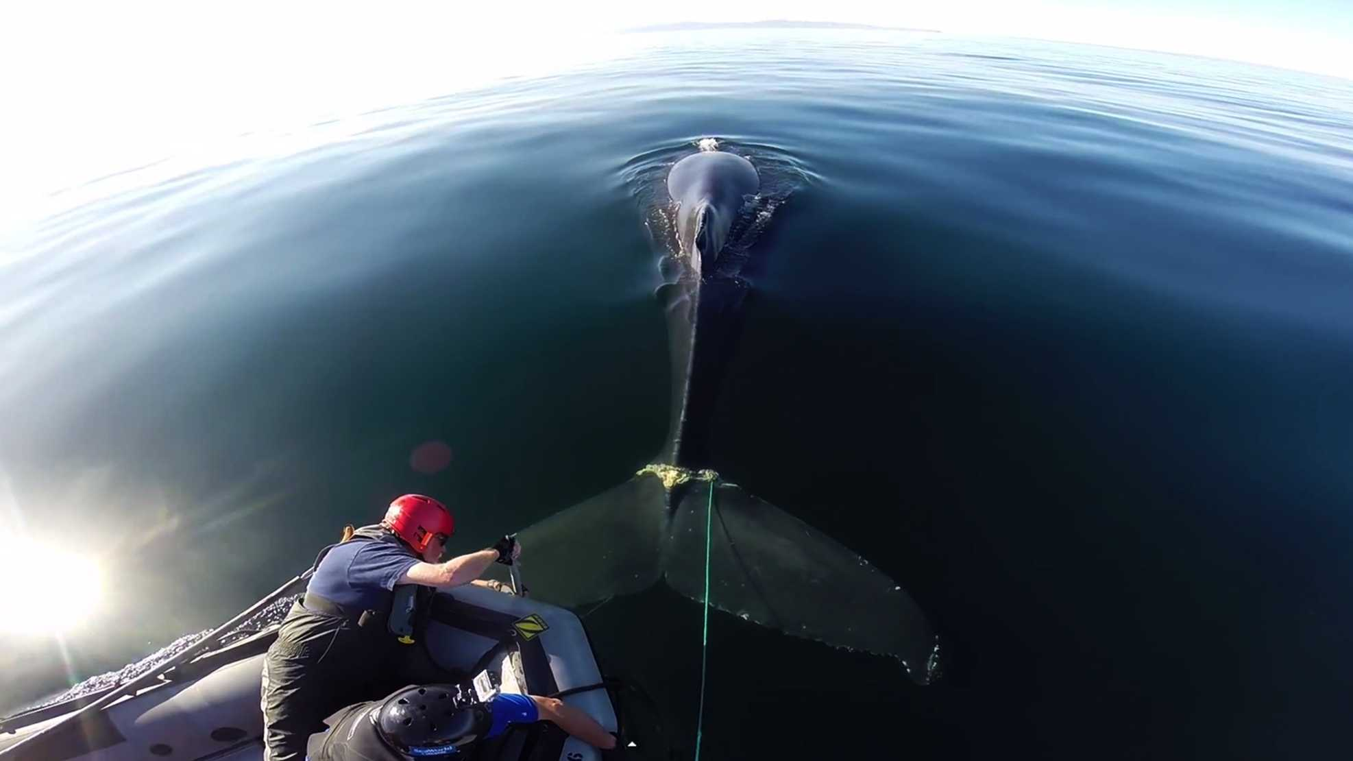 The humpback whale is seen on May 15, 2014 while rescuers completely freed it from steel rope. MMHSRP Permit 932-1489