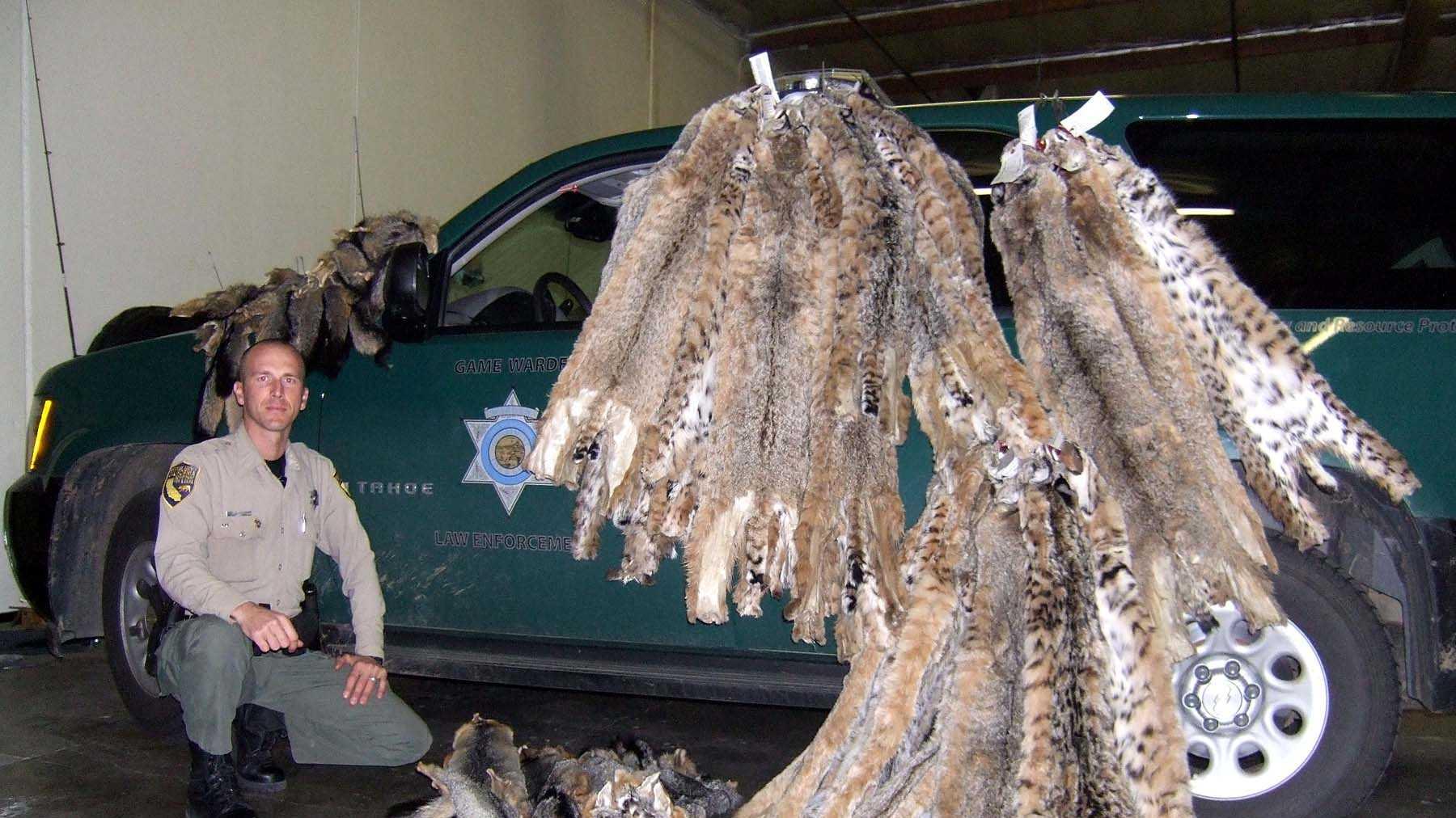 Bobcat poaching