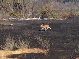 A deer was seen fleeing from the charred land near Cal Expo. (July 4, 2014)