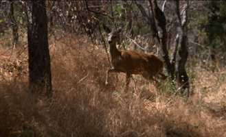 Deer and other wildlife are still a rare sight in the Rim Fire burn zone.