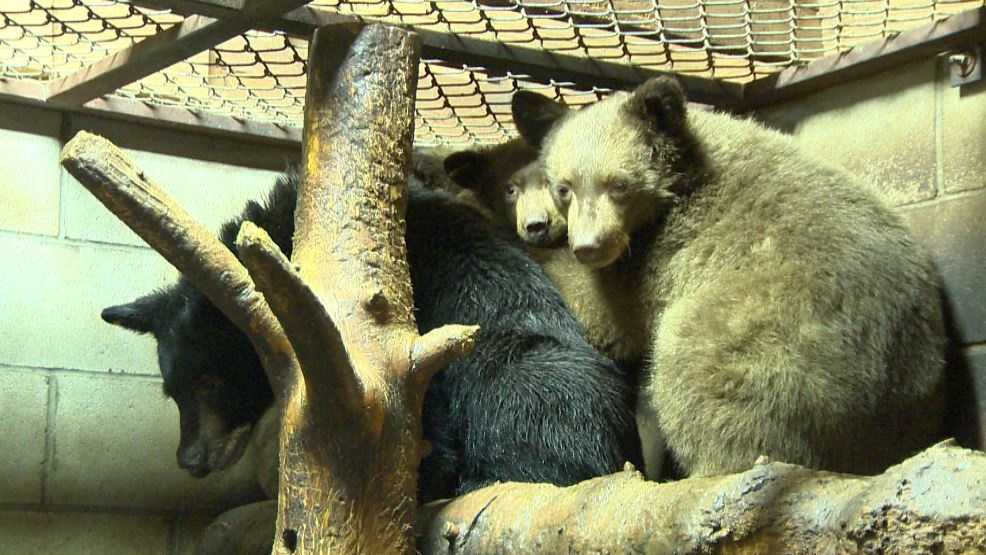 Bears at the Lake Tahoe Wildlife Center are growing and need more fish, caretakers said.