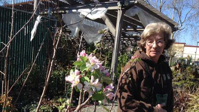 Meg Gray of Talini's Nursery looks at an early-season apple blossom (Feb. 16, 2015).