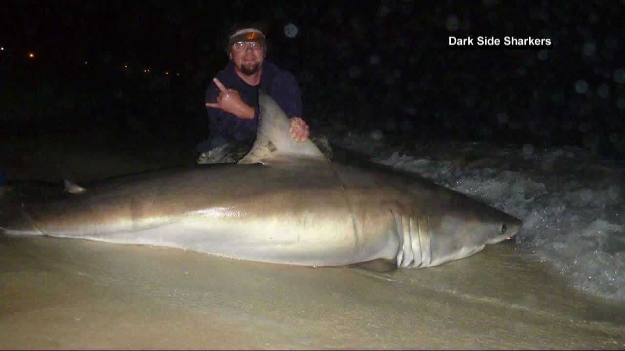 Fishermen in Panama City Beach reeled in this giant white shark, just as Spring Break gets underway. NBC News reports.
