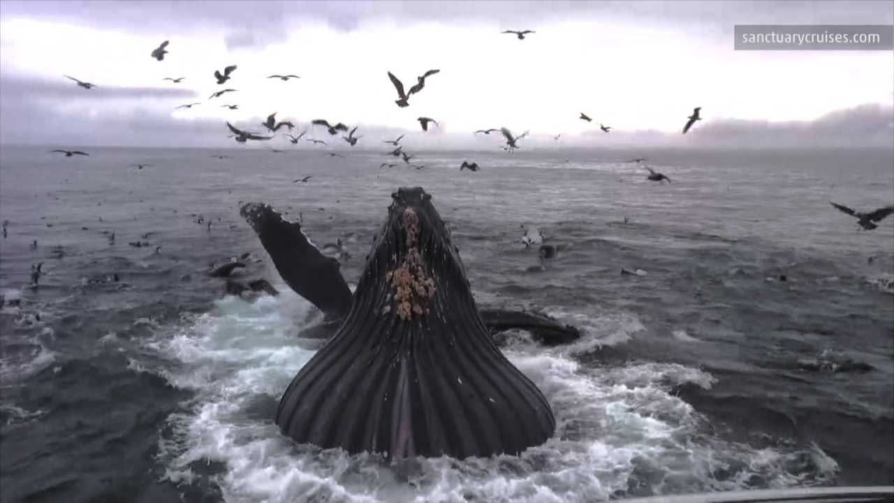 Check out this incredible video of a humpback whale, spending the winter in Monterey Bay, who breaches just a short distance from the shoreline. Matt Sampson shares the details.