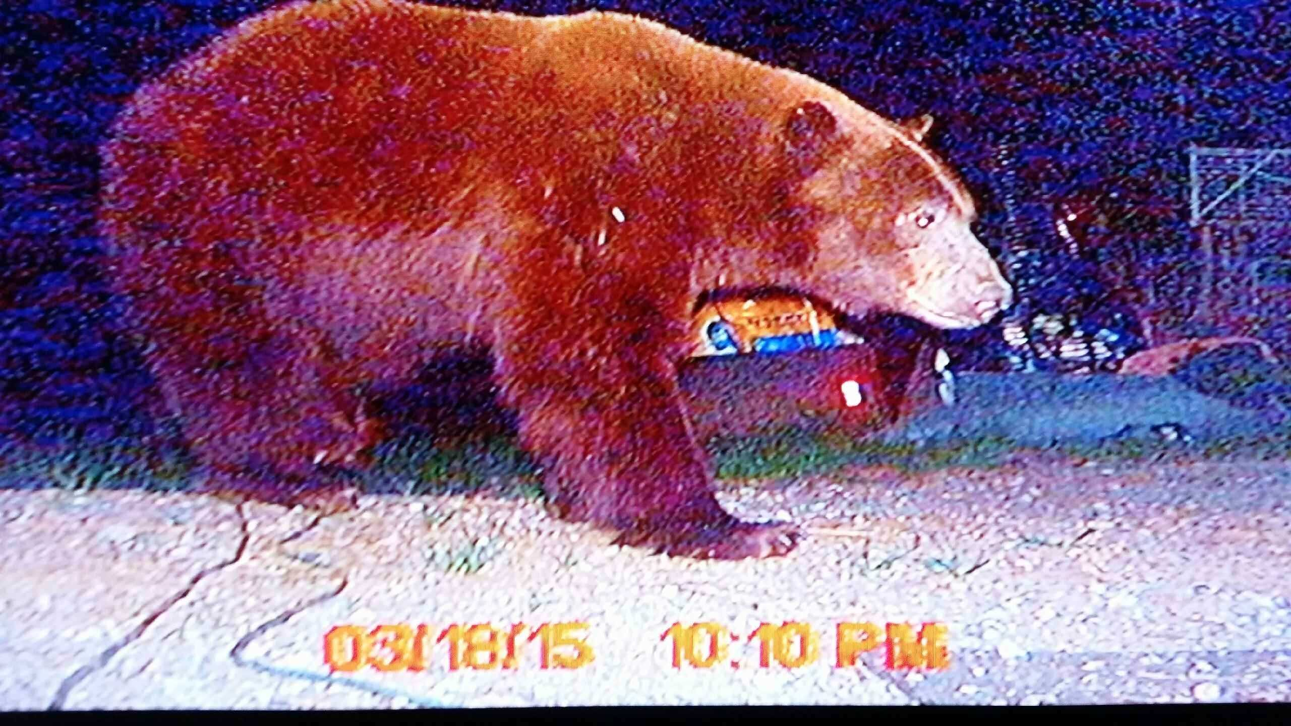 A Georgetown resident captured pictures of a large black bear roaming through his front yard Thursday night.