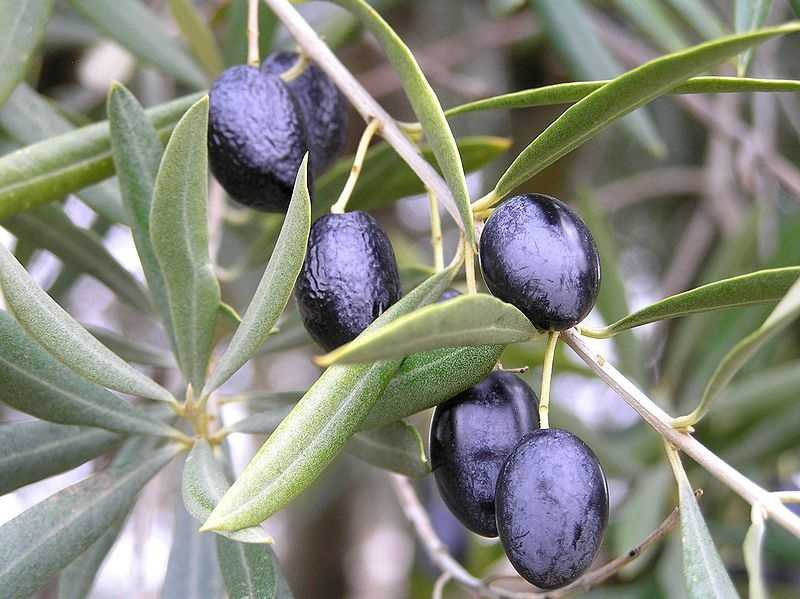1 pound of olives = 363 gallons of water