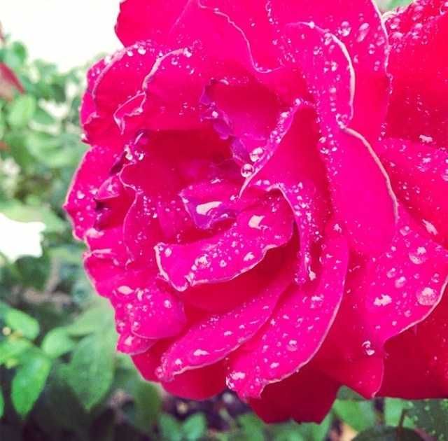 More rain, more flowers:It probably wasn't a ton but ... Did you get some rain today where you live? #norcal #wx #weather #sacramento #centralvalley #sacvalley #tahoe #stockton #modesto #rain Photo: David Bienick
