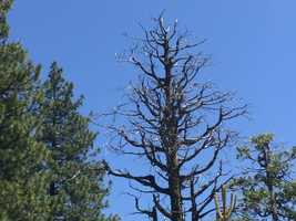 View images of some of the millions of Sierra Nevada trees killed by California's ongoing drought.