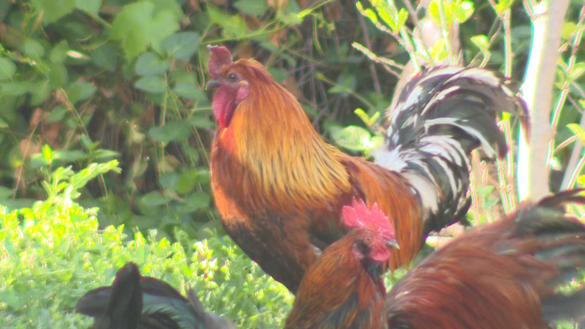 Sacramento County leaders say a proposed rooster ban would not apply to the free-roaming chickens of Fair Oaks.