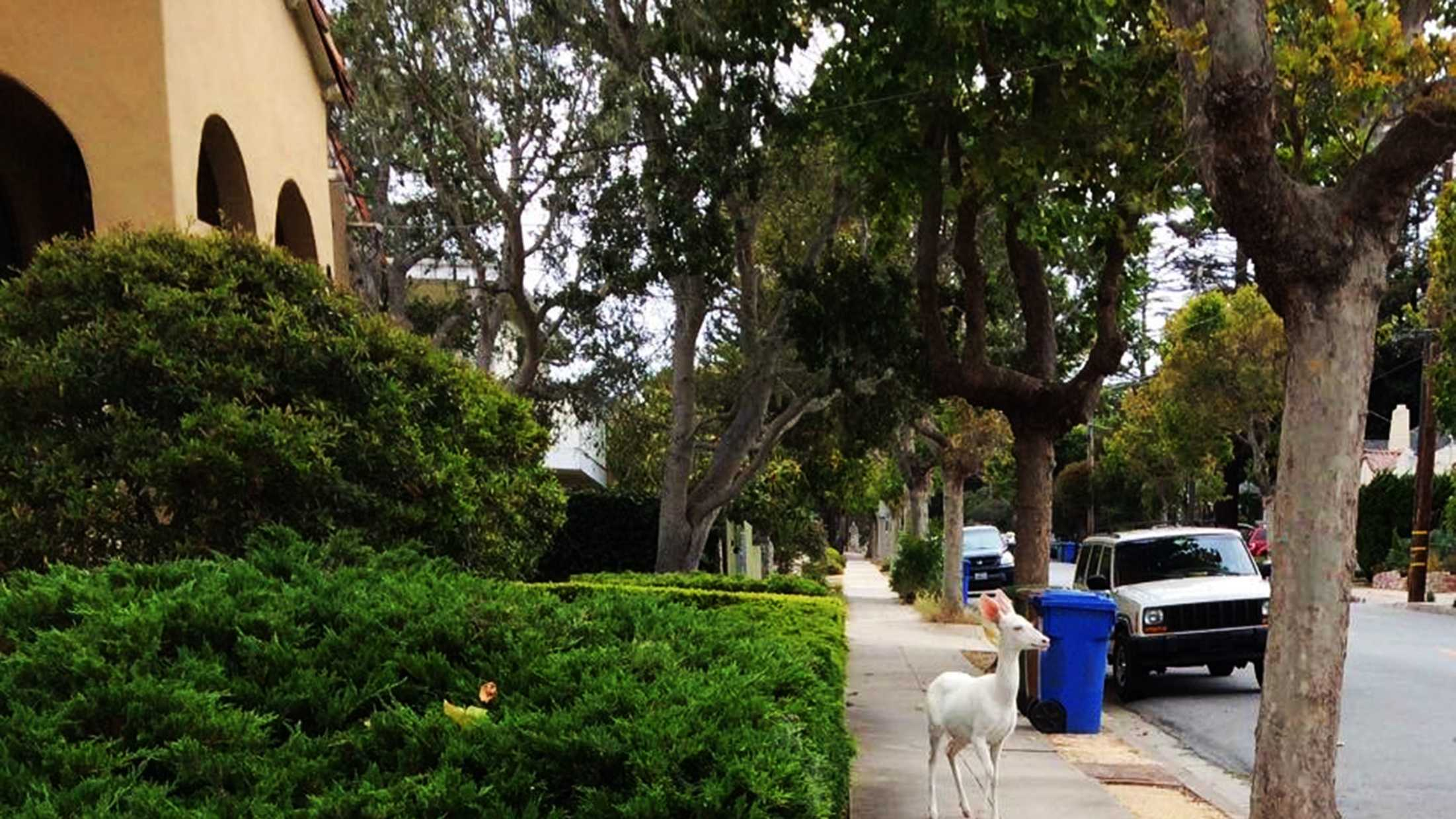 A rare white deer is seen walking down the sidewalk. (May 2015)