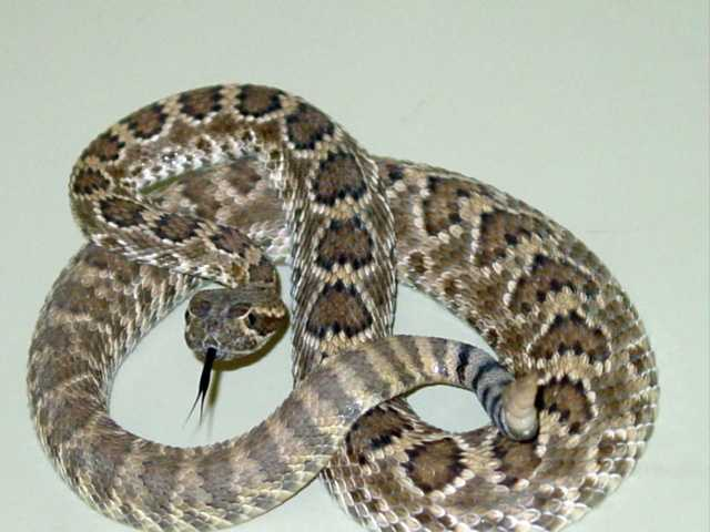 10. Know the signs of a rattlesnake bite: Dogs are often left outside to roam the yard or let off-leash while out for a walk, so you may not even know if your dog has been bitten. Symptoms almost always include puncture wounds (usually with bleeding), severe pain, swelling, restlessness, panting and drooling. More severe symptoms that can show after a few hours include muscle tremors, seizures, weakness and diarrhea.