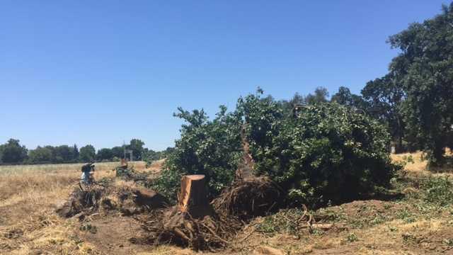 Crews cut down trees Thursday morning on part of the Curtis Park Village development site.