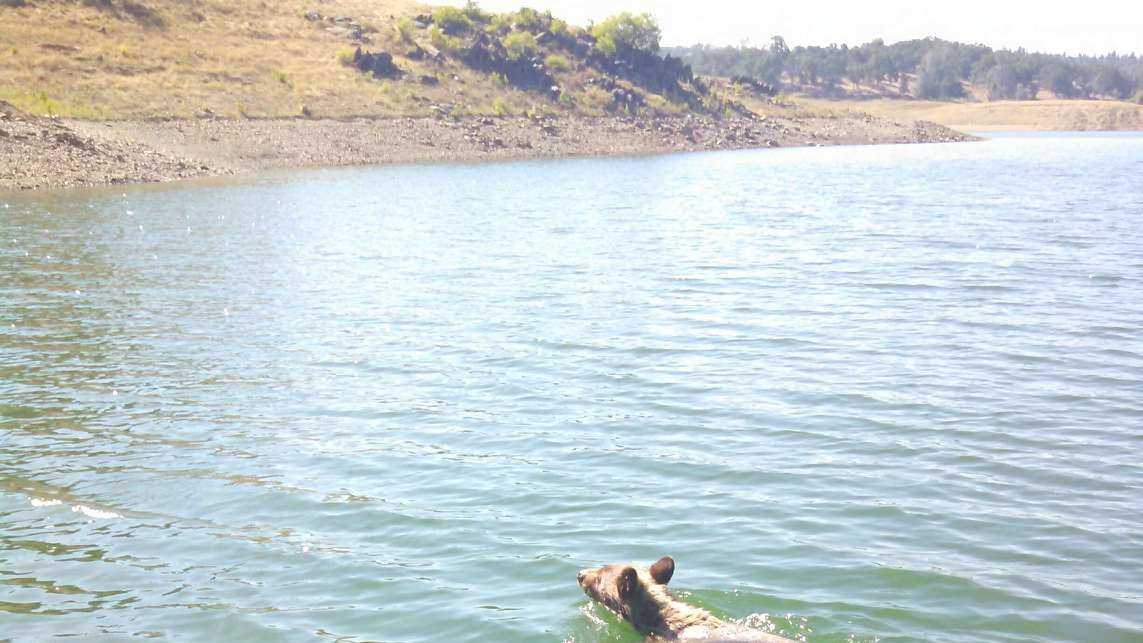 Bear swimming in Folsom Lake (June 16, 2015)
