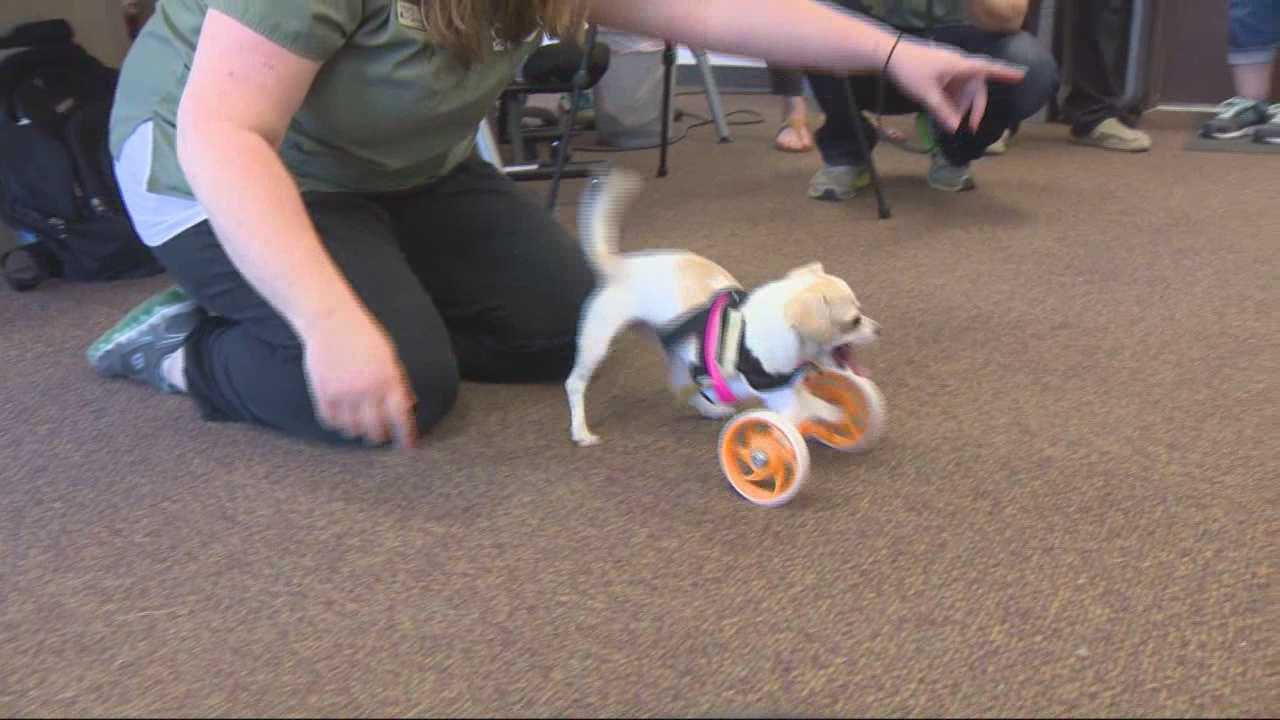 Tippy the dog, who was born without front legs, received a new wheels to help her get around.