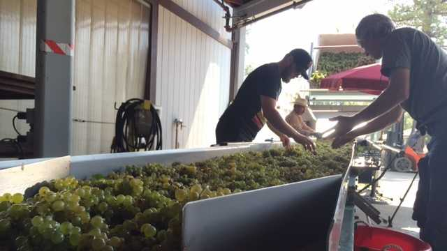 Workers sort freshly harvested grapes Friday at Lava Cap Winery in El Dorado County.
