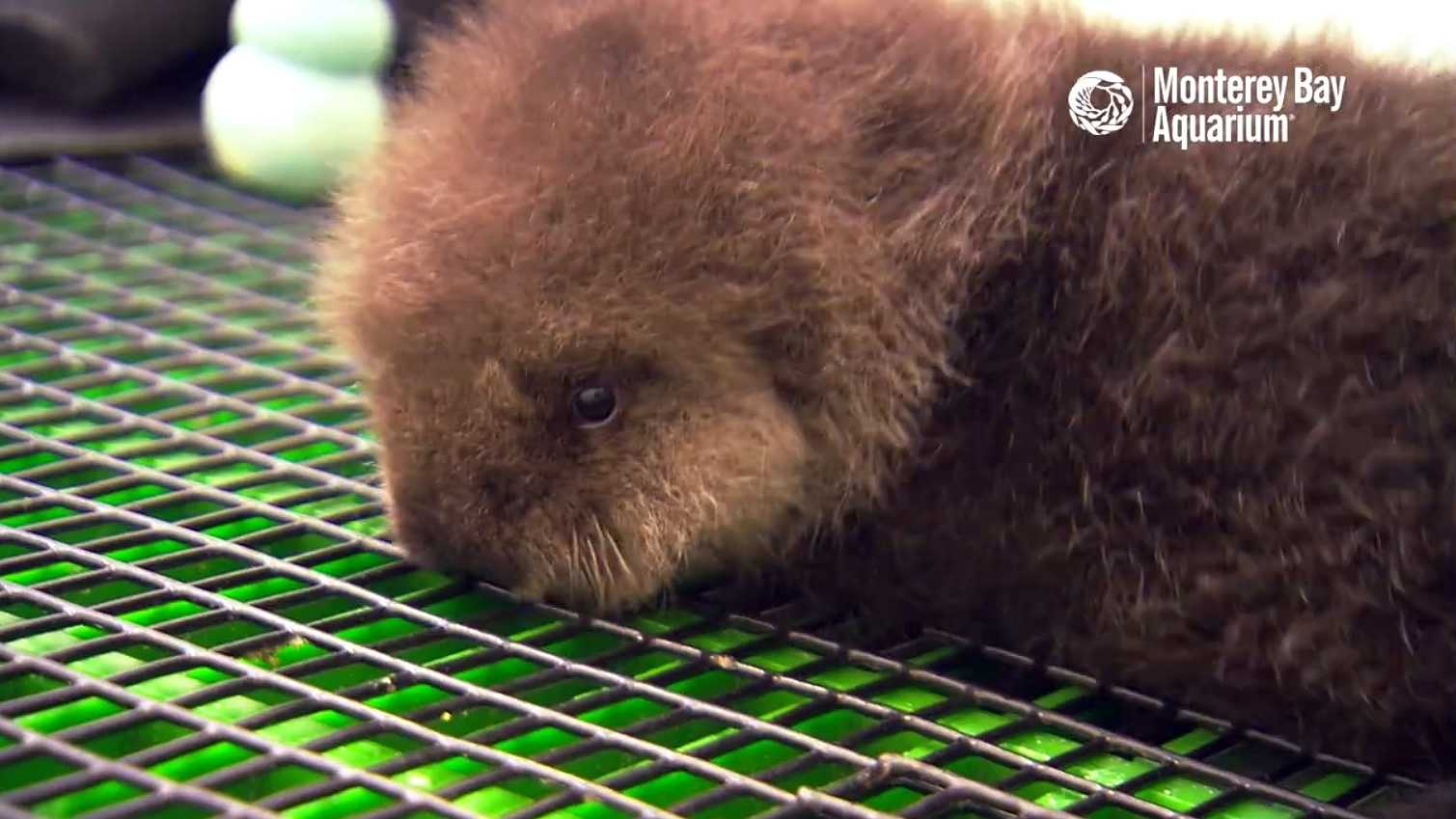 Otter 696 gets fluffed by Monterey Bay Aquarium staff. The orphan pup's stay at aquarium was highlighted for Sea Otter Awareness Week.