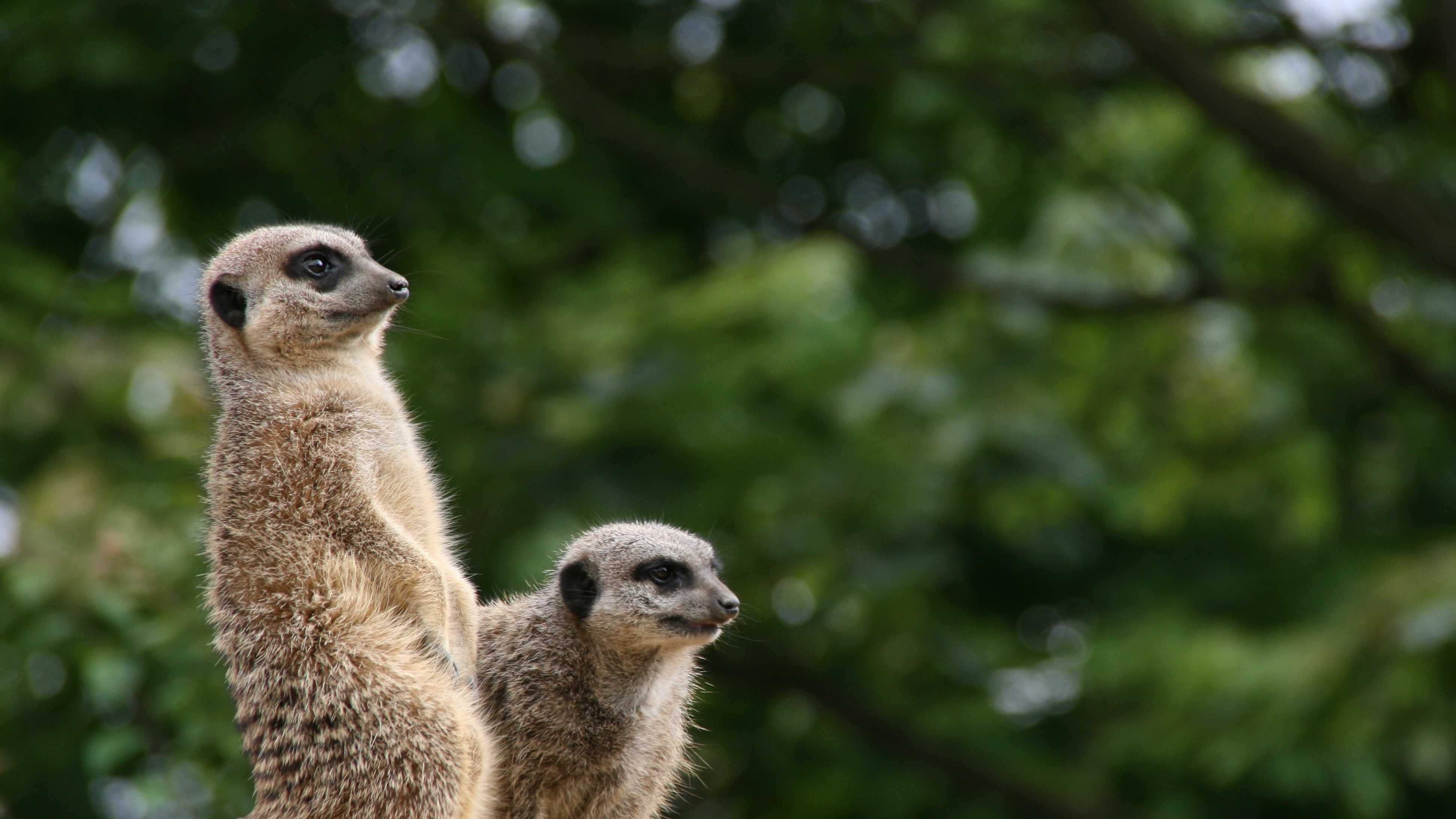 Meekats at the London Zoo