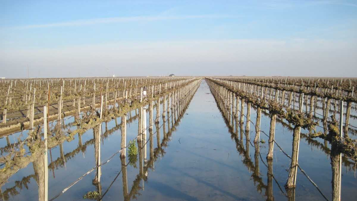 This vineyard near Fresno was flooded in 2011 as part of an effort to replenish the groundwater supply.