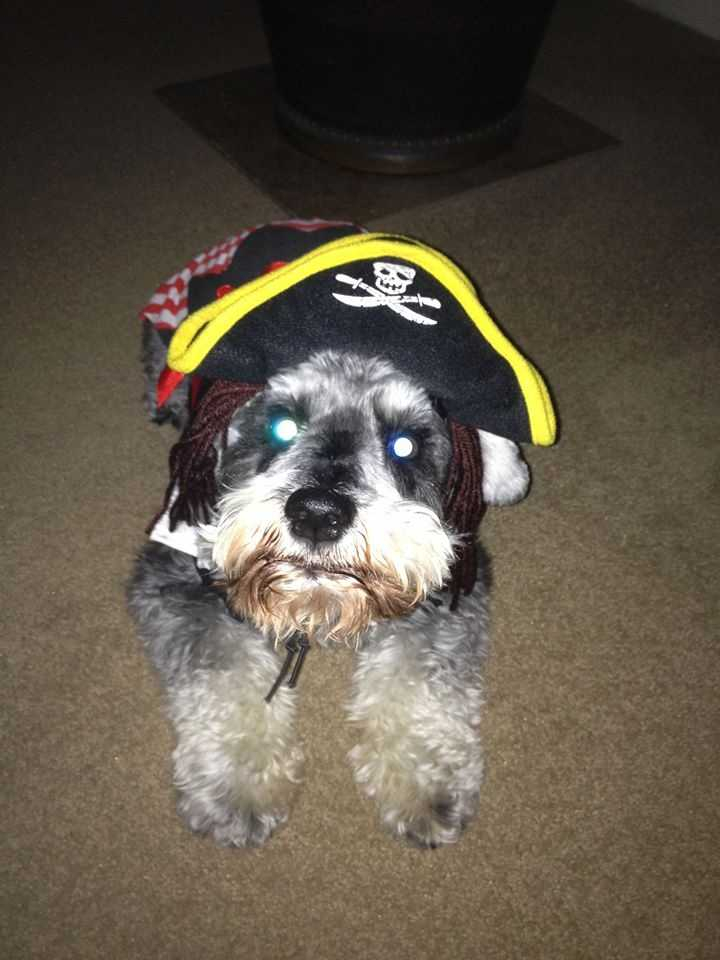 Zeke the Pirate Dog. Photo shared by Katy Knobel Mufich.